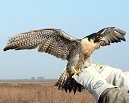 Peregrine Falcon being released