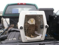 Bald Eagle is transported to the Oso Creek Animal Hospital.